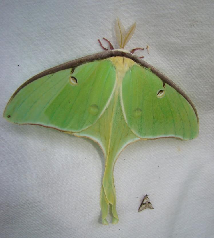 -_7758_–_Actias_luna_–_Luna_Moth_(16265177215)